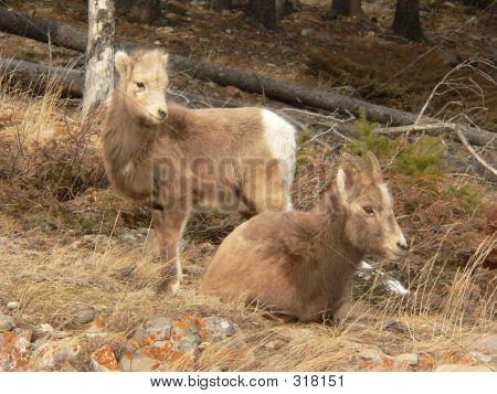 Bighorn Family