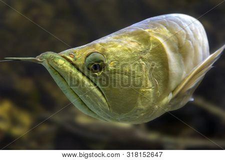 Exotic Silver Arowana Fish Closeup Photo. Detail