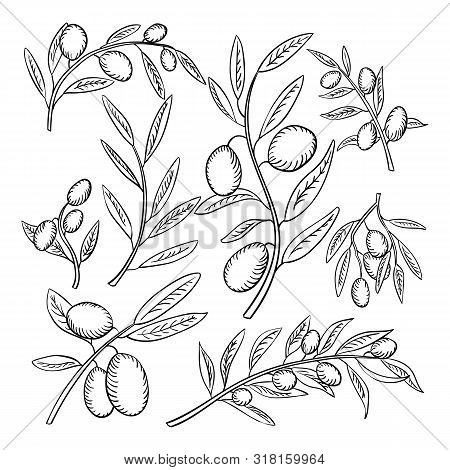 Olive Branches With Fruits Outline Illustrations Set