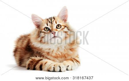 Siberian cat, a kitten lying and looking up. Isolated on white background. Purebred, red color type