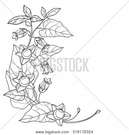 Vector Corner Bunch With Outline Toxic Atropa Belladonna Or Deadly Nightshade Flower, Bud, Berry And