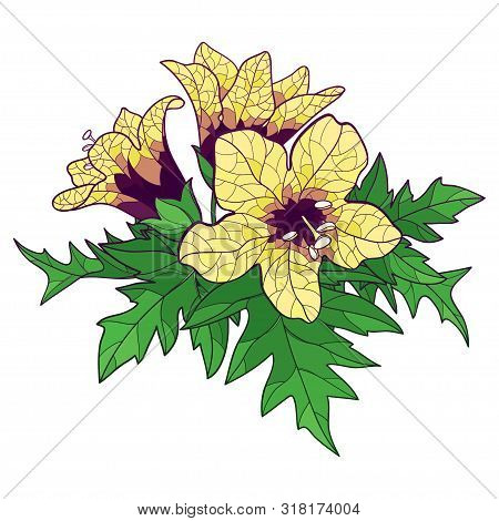 Vector Bunch Of Outline Toxic Hyoscyamus Niger Or Henbane Or Stinking Nightshade Yellow Flower And O