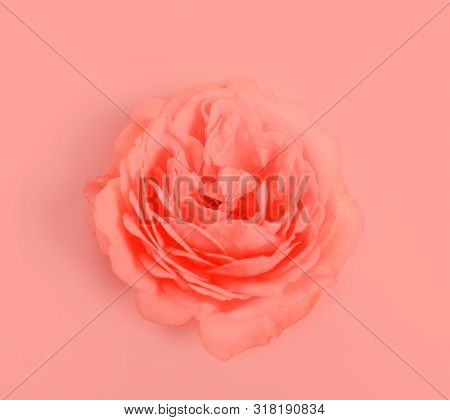 Beautiful Coral Rose Flower Close Up On Colar Background