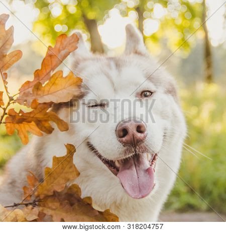 Husky Portrait. Young Husky Dog For A Walk In The Park In Autumn. Husky Breed. Light Fluffy Dog. Wal