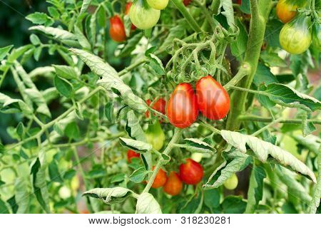 Red Teardrop Tomato Ready To Be Be Harvested