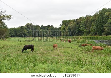 Cow In Meadow. Rural Composition. Cows Grazing In The Meadow. A Series Of Photographs Of A Black And