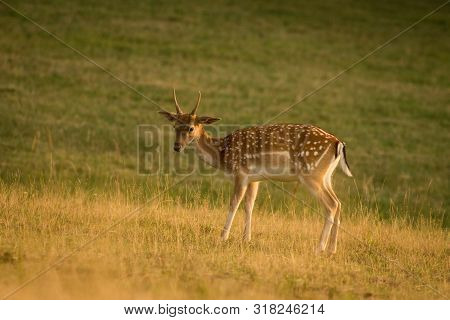 European Fallow Deer (dama Dama) Majestic Powerful Adult Fallow Deer.