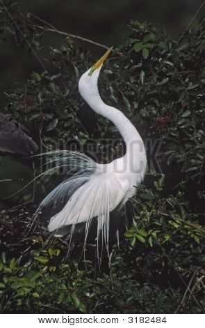Great egret in breeding plumage. Spring in Florida poster