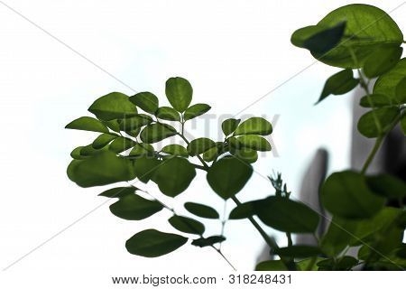 Looking Up At Moringa Tree Leaves From Underneath, Used As A Supplement And Known As A Superfood.