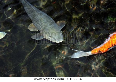 Fish illuminated from side in park pond with evening light poster