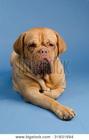Dogue De Bordeaux against blue background