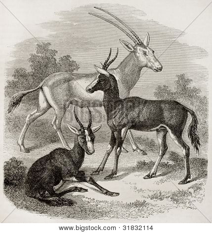 Gemsbok (Oryx gazelle) and Bontebox (Damaliscus pygargus) old illustration. Created by Freeman, published on Magasin Pittoresque, Paris, 1882