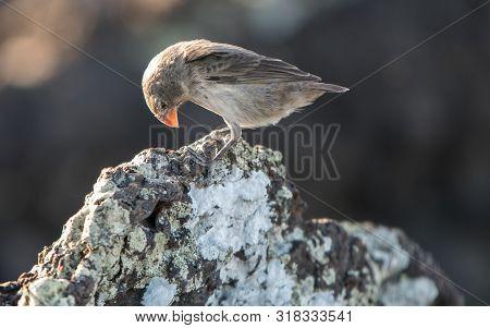 Galapagos Darwin Finch With Orange Beak Looking Down