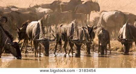 Wildebeest Drinking From Waterhole