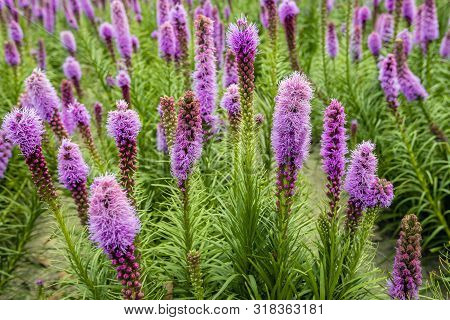 Colorful Image With A Closeup Of Rows Of Purple Flowering And Budding Dense Blazing Star Or Liatris