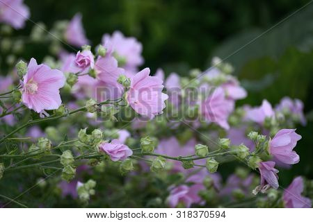 Stems With Pink Flowers Marshmallow Close Up