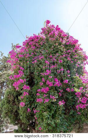 Pink Flower Bush Tree Tropical Plant Stock Image