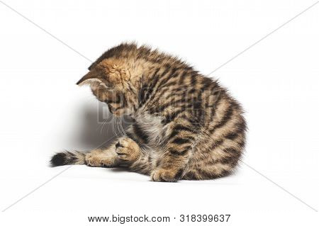 Tabby Cat Looking Down. Isolated On White Background
