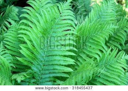 Beautiful Bright Green Leaves On Lush, Healthy Fern Plants In Woodsy Area Of Backyard Garden.