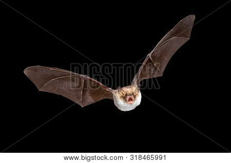 Flying Natterer's bat (Myotis nattereri) action shot of hunting animal isolated on black background. This species is medium sized with distictive white belly, nocturnal and insectivorous and found in Europe and Asia. poster