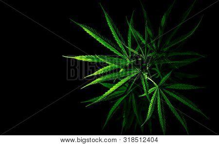 Cannabis Plant. Cannabis Sativa (hemp) Has Cbd. Marijuana (weed) Green Leaves On Black Background. H