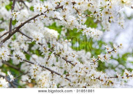 Tiny White Flowers On Blackthorn Or Sloe