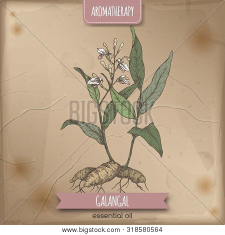 Alpinia Galanga Aka Greater Galangal Color Sketch On Vintage Background.