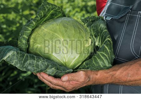 Hands Of A Peasant With A Head Of Fresh Green Cabbage. A Farmer With A Cabbage Crop In His Hands