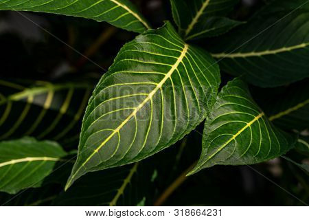 Close-up Of Big Green Tropical Tree Leafs. Macro Photography Of Lively Nature.