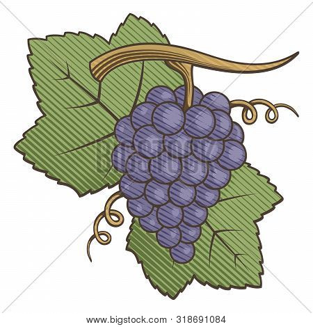 Purple Grapes With Leaves Colored Illustration With Engraving Shading.