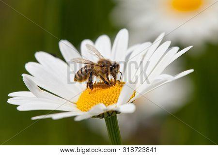 Detail Of Golden Bee Or Honeybee In Latin Apis Mellifera, European Or Western Honey Bee Sitting On W
