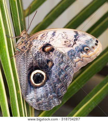 Tropical Owl Butterfly - Caligo Memnon - On Palm