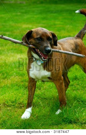 Family dog playing in the back yard fetching sticks poster
