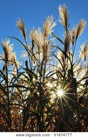 Tall Grass With Sunburst
