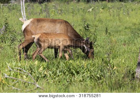 The Wapiti Doe With Fawn On Meadow In Conservation And Wildlife Area