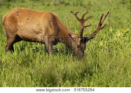 Wapiti, Young Elk With Velvet Antlers  In A Conservation And Wildlife Area
