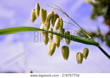 A Macro Photo Of A Blade Of Grass (briza Maxima, Or Quaking Grass) Against Softly Defocused Backgrou