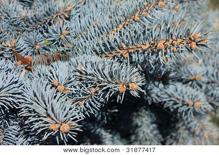 Close-up of Blue Spruce