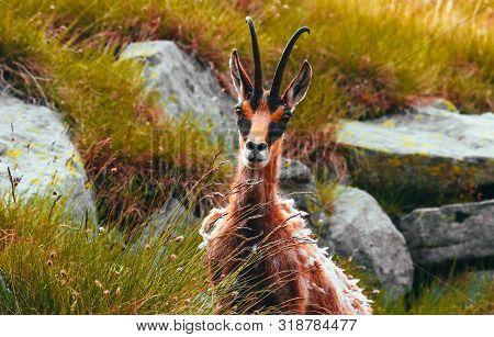 Wild Alpine Goat Portraiture, Green Alpine Mountain Nature On The Background.