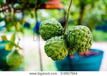Fresh Bergamot Fruits On Bergamot Tree In Garden. Bergamot Herb.
