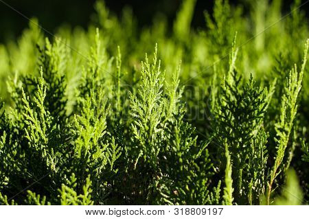 Background Of Green Cypress Foliage. Sprigs Of Cypress Close-up. Green Branches Of Cypress And Black