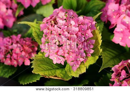 Bunches Of Dark Pink Flowers Of Hydrangea Or Hortensia Garden Shrub Fully Open Blooming With Pointy