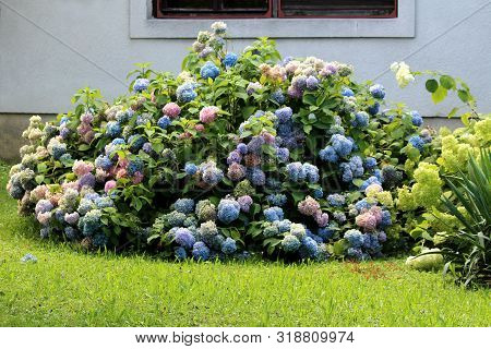 Colorful Hydrangea Or Hortensia Large Garden Shrub Full Of Open Blooming Blue To Pink Flowers With P