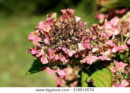 Hydrangea Or Hortensia Garden Shrub Partially Dried Shriveled Pink Flowers With Pointy Petals Surrou