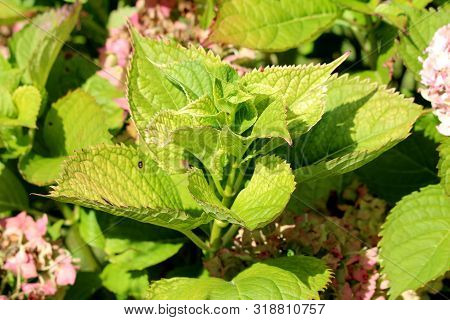 Large Thick Light Green Leathery Leaves Of Hydrangea Or Hortensia Garden Shrub Surrounded With Fully