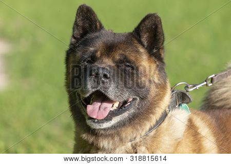 American Akita - Dog An American Strain, Known As The Akita Or American Akita
