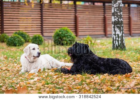 Two Dogs Are Lying On The Grass In Backyard