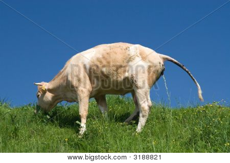 Squirting Cow