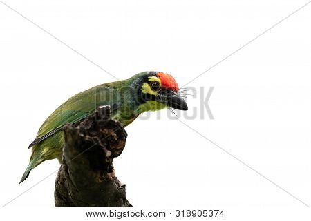 Closeup Coppersmith Barbet Bird Perched On Branch Isolated On White Background