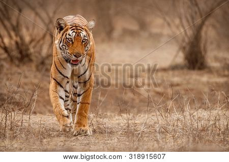 Amazing Tiger In The Nature Habitat. Tigers Pose During The Golden Light Time. Wildlife Scene With D